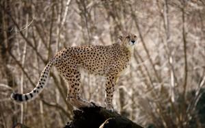 Gepard im Tiergarten Hellbrunn
