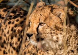 Gepard Zoo Salzburg