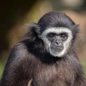 Gibbon Tiergarten Hellbrunn